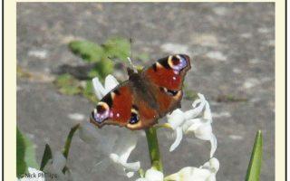Nick butterfly